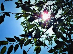 初夏の葉の写真素材 [FYI01192003]