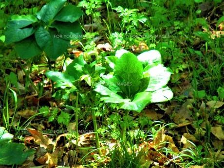 初夏の葉の写真素材 [FYI01192005]