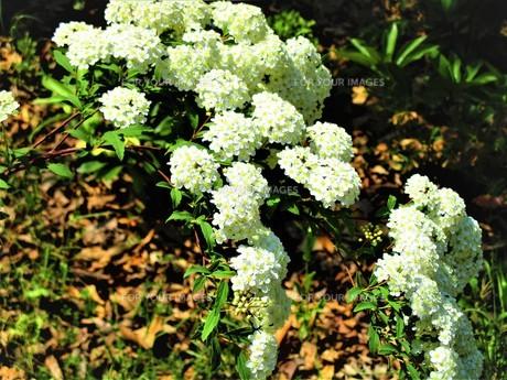 初夏の葉の写真素材 [FYI01192006]