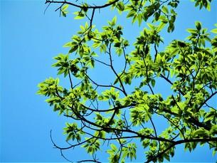 初夏の葉の写真素材 [FYI01192010]