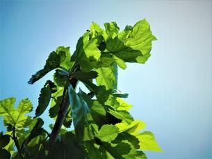 初夏の葉の写真素材 [FYI01192015]