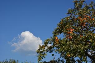 秋の味覚 / 柿の写真素材 [FYI01192066]