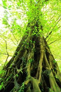 空へ伸びる新緑の木の写真素材 [FYI01192149]