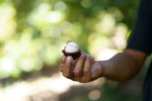 自然の中でマンゴスチーンを手に持つ男性の写真素材 [FYI01192151]