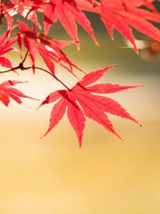 紅葉したカエデの葉の写真素材 [FYI01192163]
