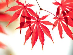 紅葉したカエデの葉の写真素材 [FYI01192164]