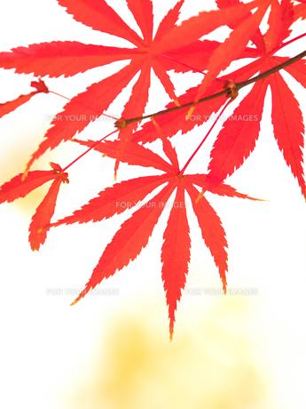 紅葉したカエデの葉の写真素材 [FYI01192165]