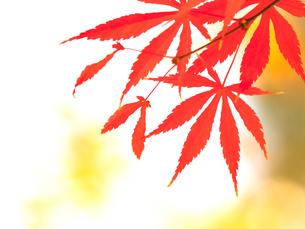 紅葉したカエデの葉の写真素材 [FYI01192166]
