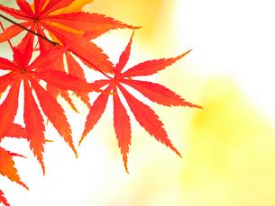 紅葉したカエデの葉の写真素材 [FYI01192167]