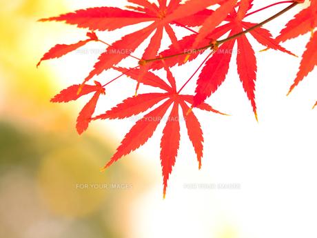紅葉したカエデの葉の写真素材 [FYI01192168]