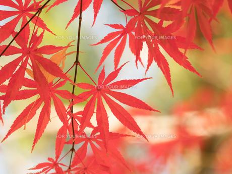 紅葉したカエデの葉の写真素材 [FYI01192169]