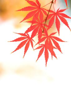 紅葉したカエデの葉の写真素材 [FYI01192170]