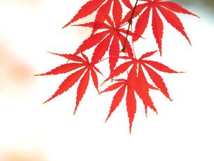 紅葉したカエデの葉の写真素材 [FYI01192171]