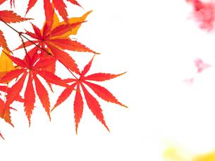 紅葉したカエデの葉の写真素材 [FYI01192172]