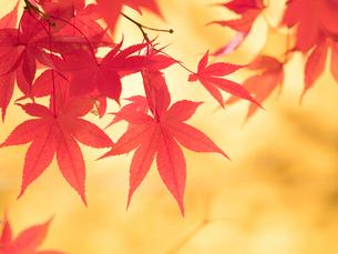 紅葉したカエデの葉の写真素材 [FYI01192173]