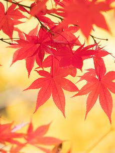 紅葉したカエデの葉の写真素材 [FYI01192174]