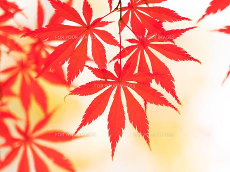 紅葉したカエデの葉の写真素材 [FYI01192175]
