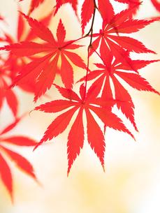 紅葉したカエデの葉の写真素材 [FYI01192176]
