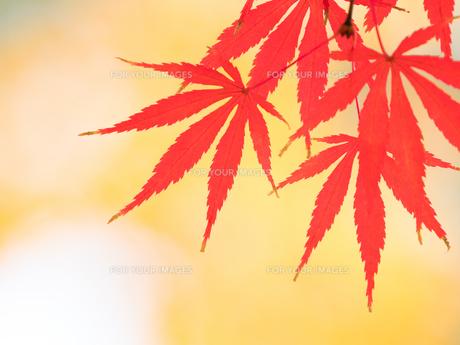 紅葉したカエデの葉の写真素材 [FYI01192177]