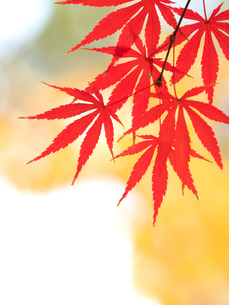 紅葉したカエデの葉の写真素材 [FYI01192178]
