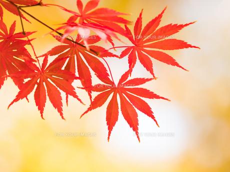 紅葉したカエデの葉の写真素材 [FYI01192179]