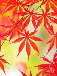 紅葉したカエデの葉の写真素材 [FYI01192180]