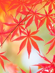 紅葉したカエデの葉の写真素材 [FYI01192181]