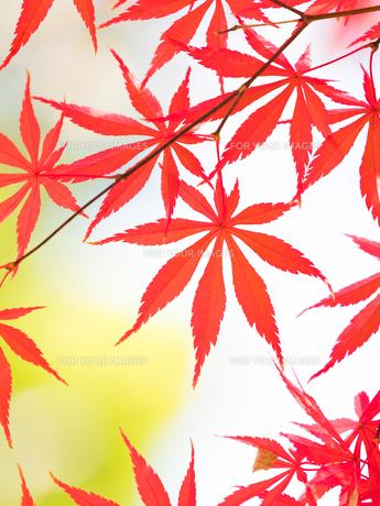 紅葉したカエデの葉の写真素材 [FYI01192182]
