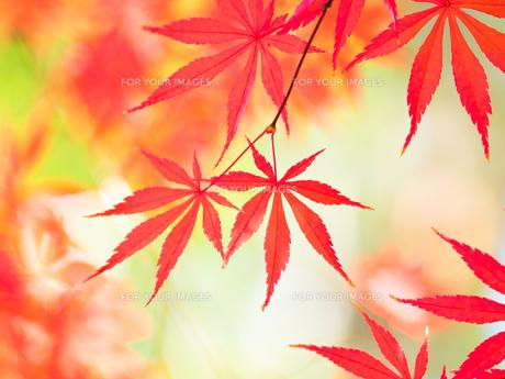紅葉したカエデの葉の写真素材 [FYI01192183]