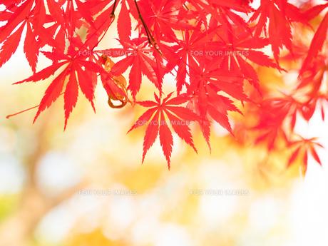 紅葉したカエデの葉の写真素材 [FYI01192184]