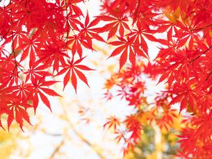 紅葉したカエデの葉の写真素材 [FYI01192185]