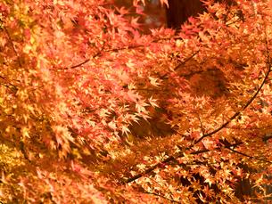 紅葉したカエデの葉の写真素材 [FYI01192187]