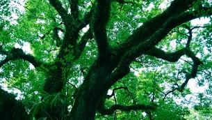 楠の老木の写真素材 [FYI01192321]