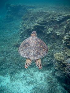 宮古島のウミガメの写真素材 [FYI01192393]