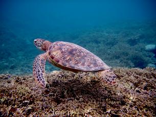 宮古島のウミガメの写真素材 [FYI01192394]