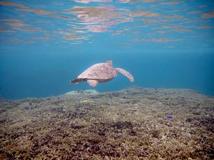宮古島のウミガメの写真素材 [FYI01192395]
