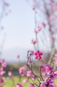 梅の花の写真素材 [FYI01192489]