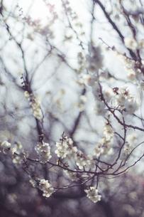 梅の花の写真素材 [FYI01192493]