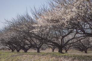 梅の花の写真素材 [FYI01192500]