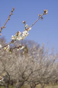 梅の花の写真素材 [FYI01192503]