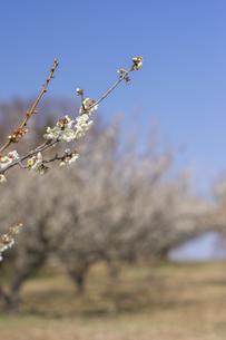 梅の花の写真素材 [FYI01192505]