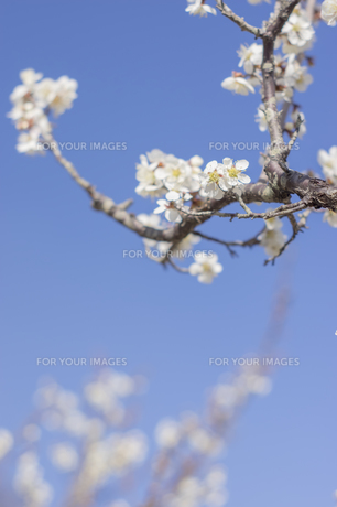 梅の花の写真素材 [FYI01192514]