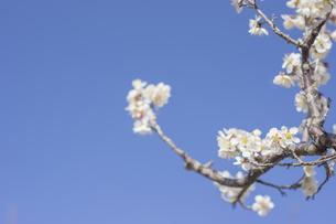 梅の花の写真素材 [FYI01192517]