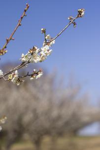梅の花の写真素材 [FYI01192518]