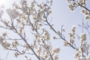 梅の花の写真素材 [FYI01192521]