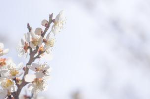 梅の花の写真素材 [FYI01192524]