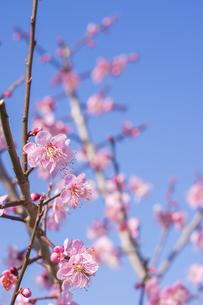 梅の花の写真素材 [FYI01192530]