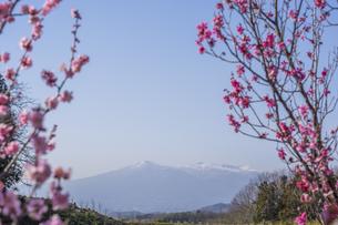 梅の花の写真素材 [FYI01192532]