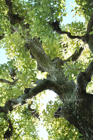 大きな木の写真素材 [FYI01192537]