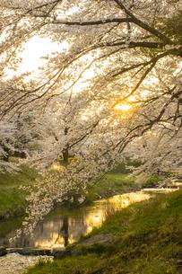 藤田川の桜並木の写真素材 [FYI01192559]
